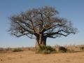 baobab,chobe