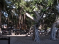Banyantræ, Laihana