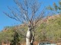 Baobabtræ ved Kathrine
