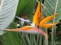 Bird-of-paradise, Oahu
