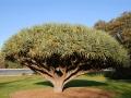 Botanisk Have, drageblodstræ, Sidney