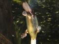 Sidney akvarium, platyops