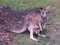 Kænguru, Mount Field NP