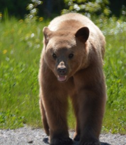 Grizzly, Alaska Highway