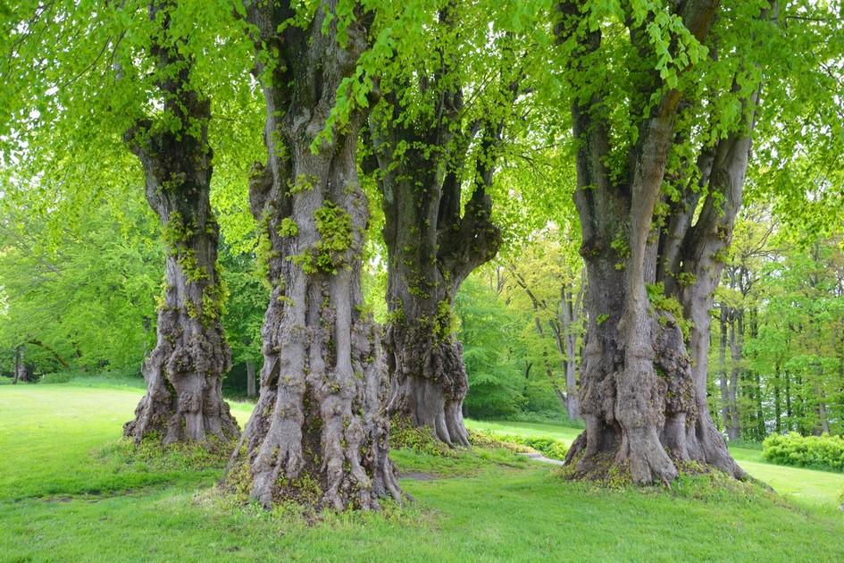 Lindetræer, Hald Hovengård
