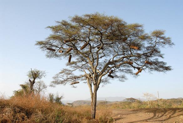 Bikuber i akacietræ, ved Konso