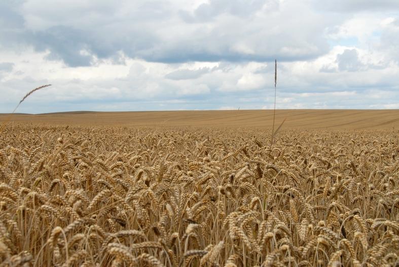 Hvedemark i Østjylland, august 2009