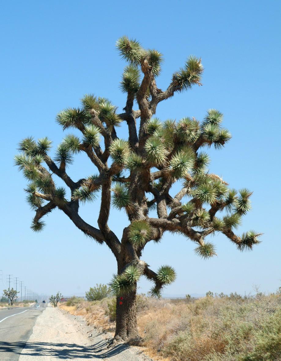 Joshua træ, Californien