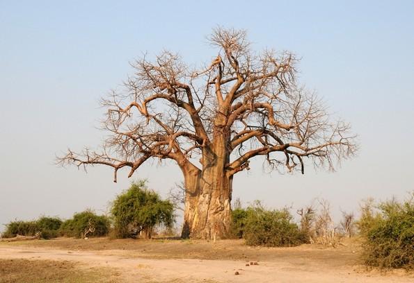 Baobab, Chobe