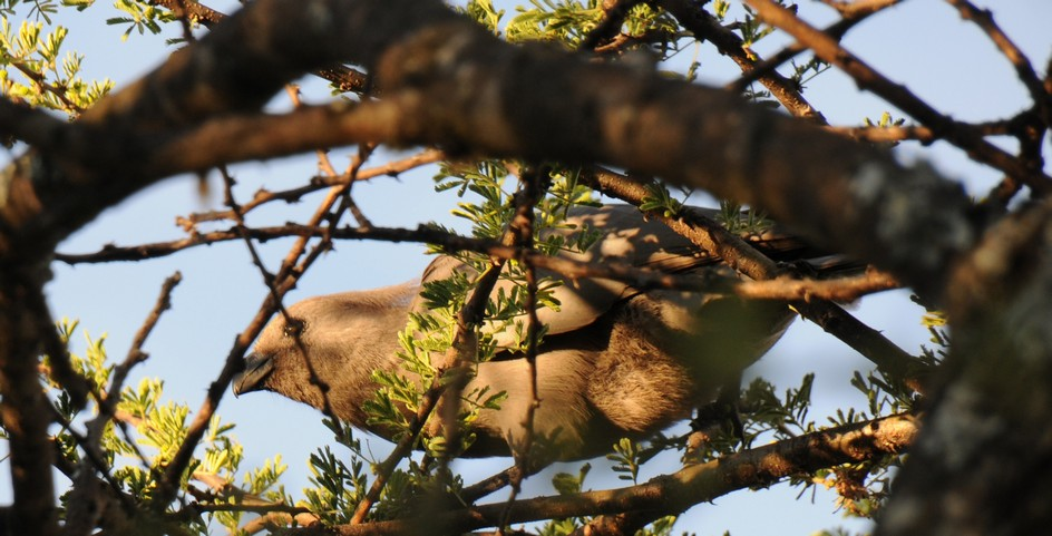 brun musefugl, Colius Btriatus