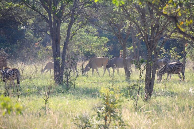 Eland og zebra, shakarti