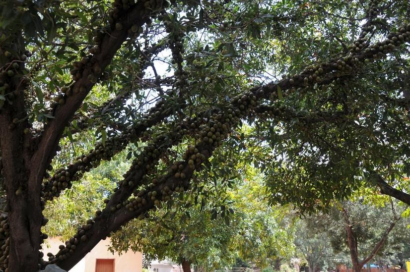 Figentræ, Mokopane