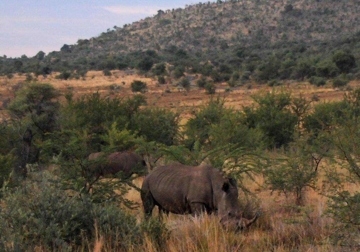 Hvidt næsehorn, Pilanesberg