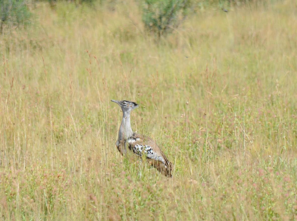 Kori bustard, Pilanesberg