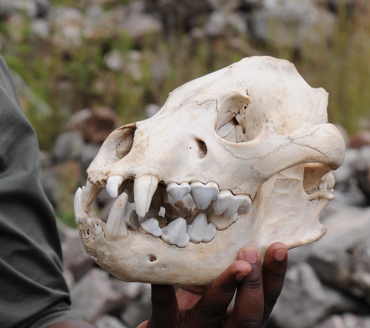 Uddød kæmpe hyæne, Makapansgat
