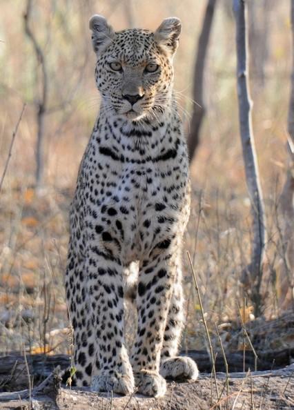 Leopard, Moremi