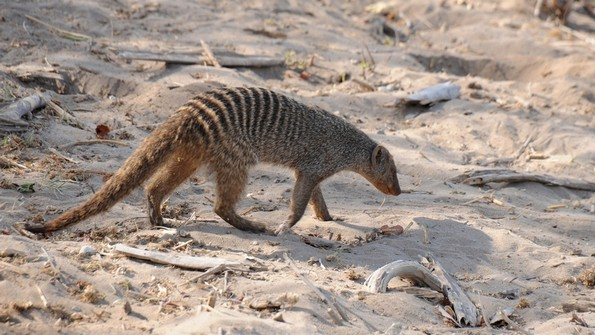 Stribet manguster, Chobe