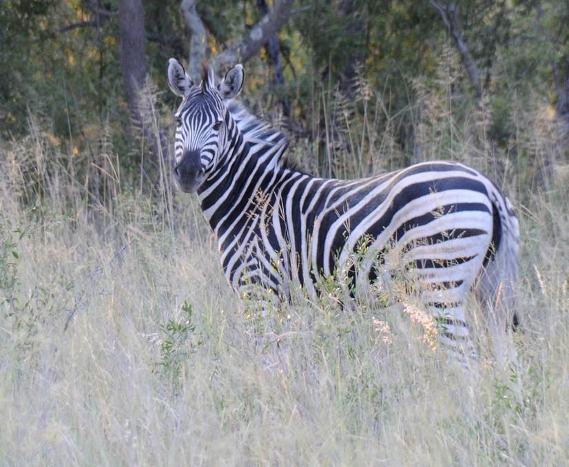 Zebra, Sharkati