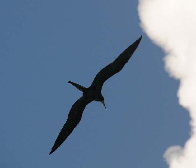 Fregatfugl, Cruz Bay