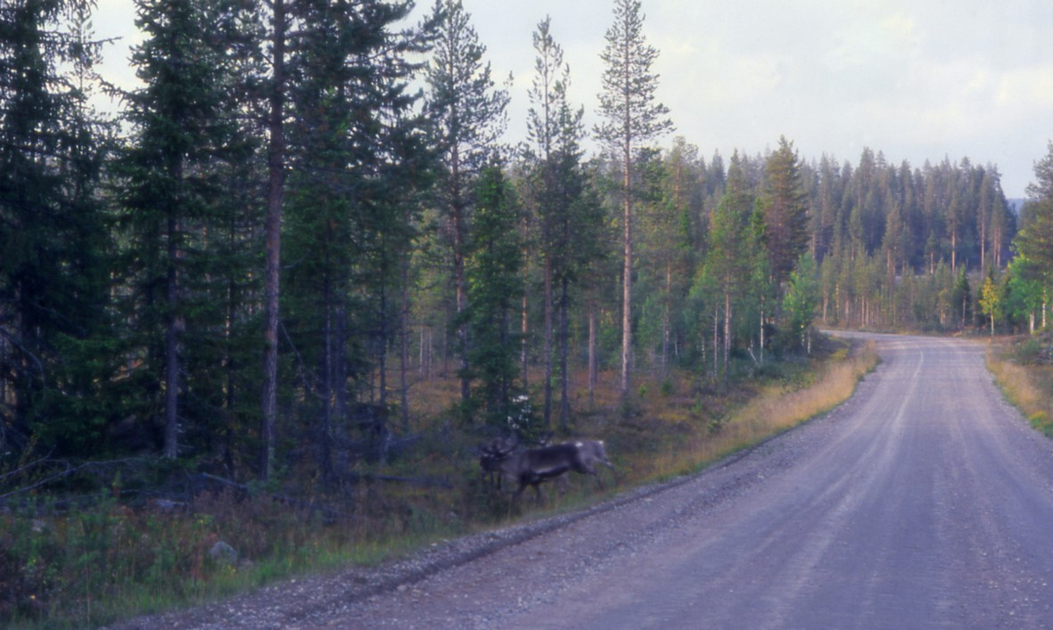 Rensdyr, Nordbotn