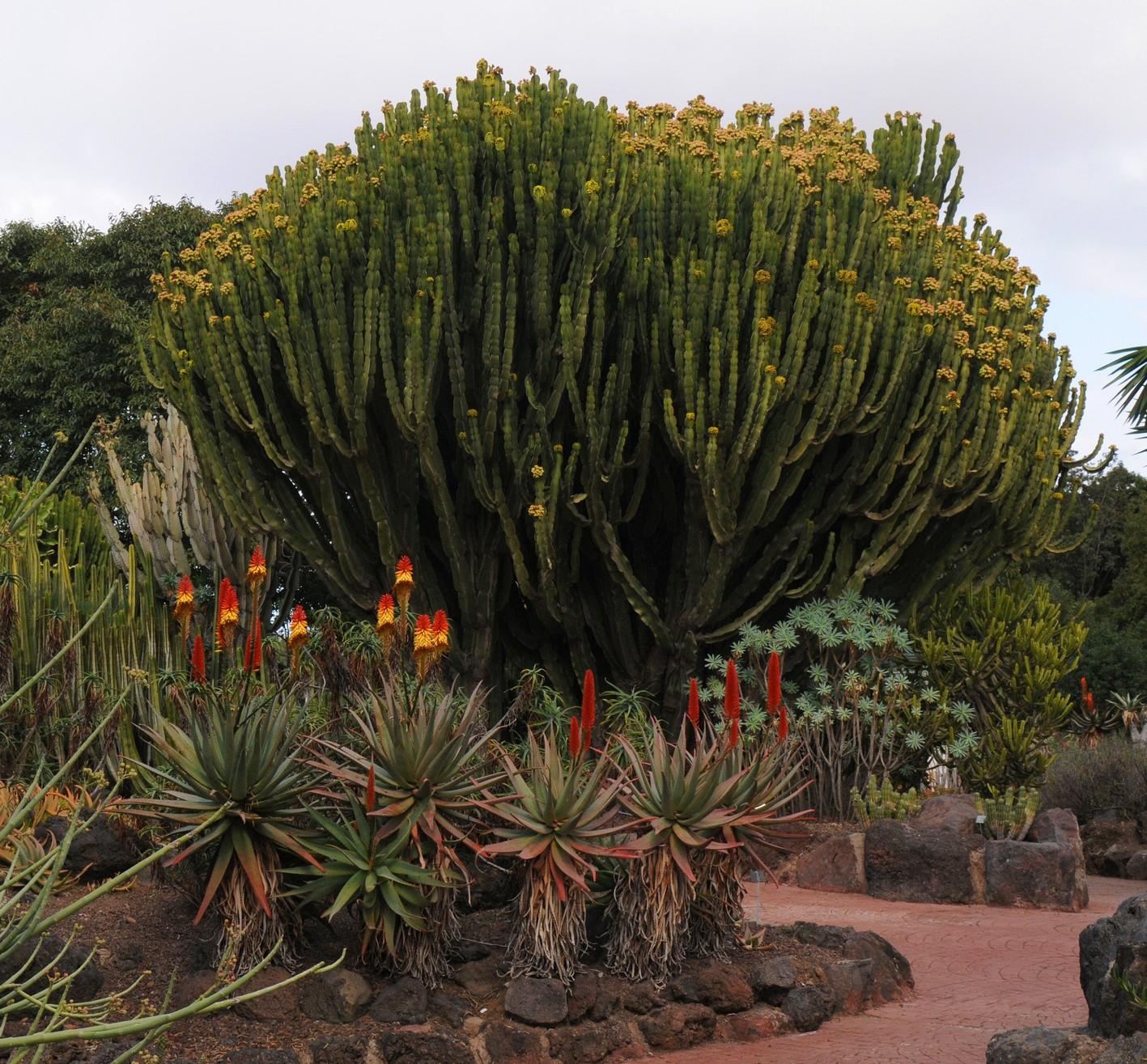 kaktustræ, botanisk have1, gran canaria